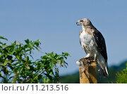 Купить «Red-Tailed Hawk With Captured Prey», фото № 11213516, снято 15 октября 2019 г. (c) PantherMedia / Фотобанк Лори