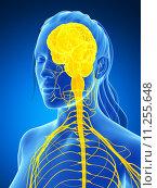 Купить «3d rendered illustration of the female nervous system», иллюстрация № 11255648 (c) PantherMedia / Фотобанк Лори