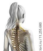 Купить «3d rendered illustration of the female nervous system», иллюстрация № 11255680 (c) PantherMedia / Фотобанк Лори