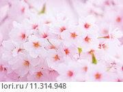 Купить «Pink sakura», фото № 11314948, снято 10 декабря 2018 г. (c) PantherMedia / Фотобанк Лори