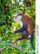 Купить «Mona Monkey With Banana», фото № 11324840, снято 17 сентября 2019 г. (c) PantherMedia / Фотобанк Лори