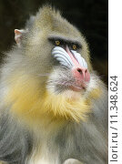 Portrait view of an adult male mandrill. Mandrillus sphinx is a primate of the Old World monkey with olive green and dark gray pelage, yellow bands, white belly, red nostrils, blue cheeks and yellow beard. Стоковое фото, фотограф Sofia Lambrianidou / PantherMedia / Фотобанк Лори