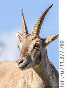 Купить «Portrait of an Ibex doe», фото № 11377780, снято 25 марта 2019 г. (c) PantherMedia / Фотобанк Лори