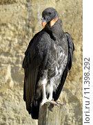 Купить «Juvenile King vulture», фото № 11398292, снято 22 марта 2019 г. (c) PantherMedia / Фотобанк Лори