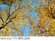 Купить «Красивая осенняя крона деревьев на фоне голубого неба», фото № 11409268, снято 5 ноября 2012 г. (c) Татьяна Кахилл / Фотобанк Лори