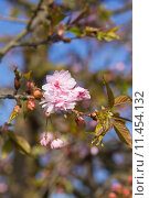 Купить «First flowers blooming sakura. Vertically.», фото № 11454132, снято 19 июня 2018 г. (c) PantherMedia / Фотобанк Лори