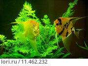Купить «fish in a aquarium water», фото № 11462232, снято 19 июня 2018 г. (c) PantherMedia / Фотобанк Лори