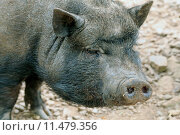 Купить «cute domestica domestikation minipig minischwein», фото № 11479356, снято 25 мая 2019 г. (c) PantherMedia / Фотобанк Лори