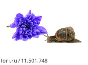 Купить «Closeup of a snail with stripy shell in front of a blue chrysanthemum bloom», фото № 11501748, снято 13 декабря 2018 г. (c) PantherMedia / Фотобанк Лори