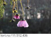 Купить «plant flower pink end wither», фото № 11512436, снято 25 мая 2019 г. (c) PantherMedia / Фотобанк Лори