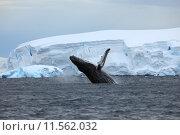 Купить «arctic iceberg whale antarkis buckelwal», фото № 11562032, снято 25 апреля 2019 г. (c) PantherMedia / Фотобанк Лори
