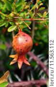 Плоды граната на ветке. Стоковое фото, фотограф Natalia Goleneva / Фотобанк Лори