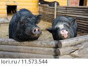 Купить «Черные свиньи вьетнамской породы в загоне», фото № 11573544, снято 26 августа 2015 г. (c) Ирина Балина / Фотобанк Лори