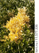 Купить «Yellow leaves in bush», фото № 11577336, снято 23 июля 2019 г. (c) PantherMedia / Фотобанк Лори