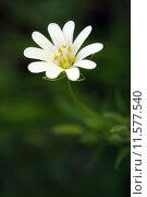 Купить «chickweed echte sternmiere gro bl», фото № 11577540, снято 25 мая 2019 г. (c) PantherMedia / Фотобанк Лори