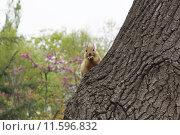 Белка на стволе дерева. Стоковое фото, фотограф Елена Антипина / Фотобанк Лори