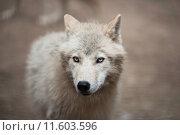 Купить «Arctic Wolf (Canis lupus arctos) aka Polar Wolf or White Wolf - Close-up portrait of this beautiful predator», фото № 11603596, снято 3 июля 2020 г. (c) PantherMedia / Фотобанк Лори