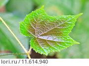 Купить «Texture of a green leaf as background», фото № 11614940, снято 22 марта 2019 г. (c) PantherMedia / Фотобанк Лори