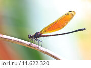 Купить «Dragonfly sitting on a branch», фото № 11622320, снято 25 июня 2019 г. (c) PantherMedia / Фотобанк Лори