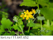 Купить «Chelidonium majus (greater celandine)  in bloom in spring.», фото № 11641652, снято 30 мая 2020 г. (c) PantherMedia / Фотобанк Лори