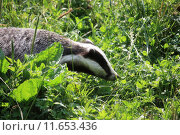 Купить «animal badger wild green black», фото № 11653436, снято 22 октября 2019 г. (c) PantherMedia / Фотобанк Лори
