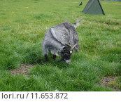 Купить «Pygmy Goat - Capra aegagrus», фото № 11653872, снято 27 марта 2019 г. (c) PantherMedia / Фотобанк Лори