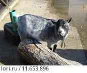 Купить «Pygmy Goat - Capra aegagrus», фото № 11653896, снято 27 марта 2019 г. (c) PantherMedia / Фотобанк Лори