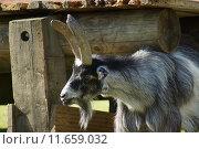 Купить «Pygmy Goat - Capra aegagrus», фото № 11659032, снято 27 марта 2019 г. (c) PantherMedia / Фотобанк Лори