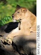 Купить «A shot of of an African Lion in the wild», фото № 11660636, снято 22 октября 2019 г. (c) PantherMedia / Фотобанк Лори