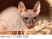 Купить «Лысая кошка (Донской сфинкс)», фото № 11685128, снято 16 августа 2015 г. (c) Яна Королёва / Фотобанк Лори
