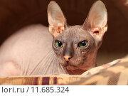Купить «Лысая кошка (Донской сфинкс)», эксклюзивное фото № 11685324, снято 16 августа 2015 г. (c) Яна Королёва / Фотобанк Лори