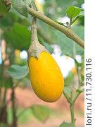 Купить «yellow eggplant on tree in garden», фото № 11730116, снято 16 марта 2018 г. (c) PantherMedia / Фотобанк Лори