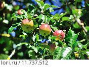 Купить «Яркие спелые яблоки на ветках», фото № 11737512, снято 5 апреля 2020 г. (c) Зезелина Марина / Фотобанк Лори