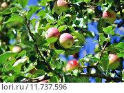 Купить «Яблоки на ветках яблони», фото № 11737596, снято 24 июня 2018 г. (c) Зезелина Марина / Фотобанк Лори