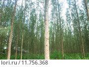 Купить «Pine forest in plantation», фото № 11756368, снято 15 ноября 2018 г. (c) PantherMedia / Фотобанк Лори