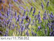 Купить «spain violet lavender lamiaceae lavendelbl», фото № 11758052, снято 22 июля 2018 г. (c) PantherMedia / Фотобанк Лори