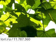 Купить «Green maple leaves in the sunshine», фото № 11787360, снято 22 марта 2019 г. (c) PantherMedia / Фотобанк Лори