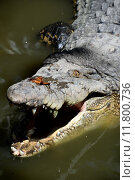 Купить «A close up shot of a wild Crocodile», фото № 11800736, снято 22 октября 2019 г. (c) PantherMedia / Фотобанк Лори