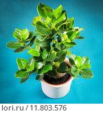 Купить «plant decoration balsamapfel clusia rosea», фото № 11803576, снято 19 апреля 2019 г. (c) PantherMedia / Фотобанк Лори