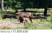 Купить «wild cow calf bovine suckle», фото № 11809636, снято 22 октября 2019 г. (c) PantherMedia / Фотобанк Лори