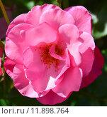 Купить «Роза парково-кустовая Нокаут (RADrazz, Purple Meidiland) (лат. Knock Out)», эксклюзивное фото № 11898764, снято 5 августа 2015 г. (c) lana1501 / Фотобанк Лори