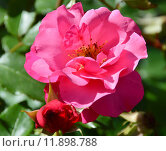 Купить «Роза парково-кустовая Нокаут (RADrazz, Purple Meidiland) (лат. Knock Out)», эксклюзивное фото № 11898788, снято 5 августа 2015 г. (c) lana1501 / Фотобанк Лори