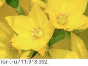 Купить «Вербейник точечный садовый Lysimachia punctata (Garden Loosestrife, Yellow Loosestrife or Garden Yellow Loosestrife)», фото № 11918392, снято 4 июля 2015 г. (c) Pukhov K / Фотобанк Лори