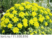 Купить «plant flower spurge multicoloured euphorbia», фото № 11930816, снято 19 октября 2019 г. (c) PantherMedia / Фотобанк Лори