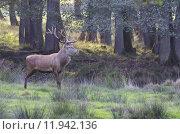 Купить «wild deer horns stags stag», фото № 11942136, снято 22 октября 2019 г. (c) PantherMedia / Фотобанк Лори