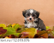 Купить «studio cute autumn dog leaves», фото № 12019076, снято 14 августа 2018 г. (c) PantherMedia / Фотобанк Лори