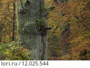 Купить «tree trees trunk oak calibrate», фото № 12025544, снято 15 июля 2020 г. (c) PantherMedia / Фотобанк Лори