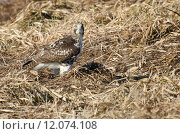 Купить «Red-Tailed Hawk Resting on the Ground», фото № 12074108, снято 16 сентября 2019 г. (c) PantherMedia / Фотобанк Лори