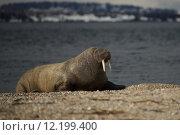 Купить «Walrus with half-closed eyes on shingle beach», фото № 12199400, снято 22 марта 2019 г. (c) PantherMedia / Фотобанк Лори