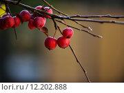 Купить «plant fruit autumn fall embellishment», фото № 12202888, снято 22 января 2019 г. (c) PantherMedia / Фотобанк Лори